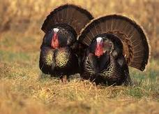 turkeys from the nwtf.org